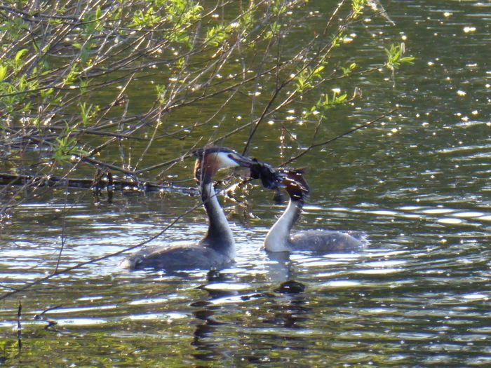 Balzritual😍bei den Haubentauchern/the grebes, sie bringen sich gegenseitig Geschenke,Futter,Nistmaterial😊they bring each other gifts, food, nesting material, adorable creatures, i'm so happy to watch that For My Friends 😍😘🎁 Surrounded By Nature Nature Is My Sanctuary 🌳💚 Nature Is My Religion Mood Captures Lakesideview My Little Lake😍 Watching Birds 🐦 Eye4photography  Lovely Scenery Love Is In The Air ♥ Spring🌸 Lakeside Beauty Waiting..2hours For That Bird Water Swimming Lake
