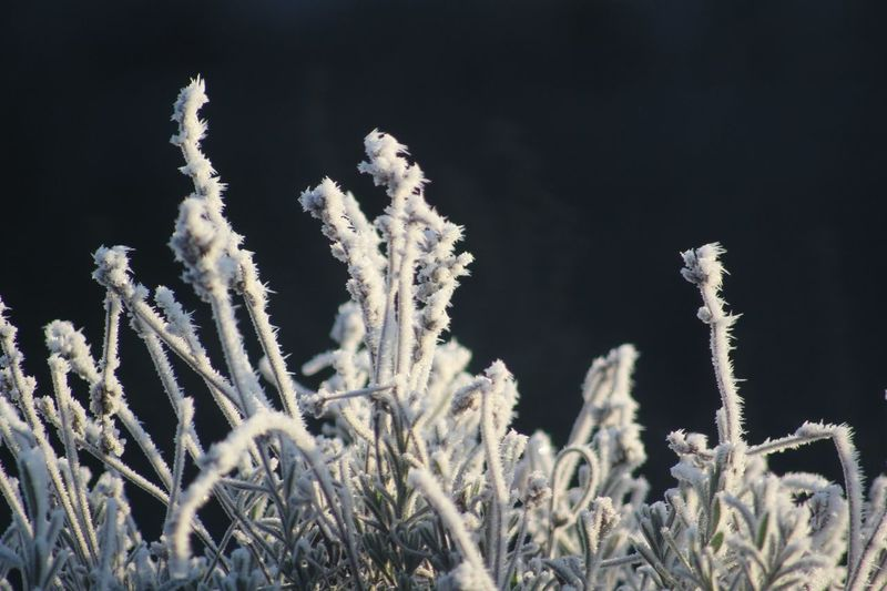 Close-Up Of Plants On Snow Field