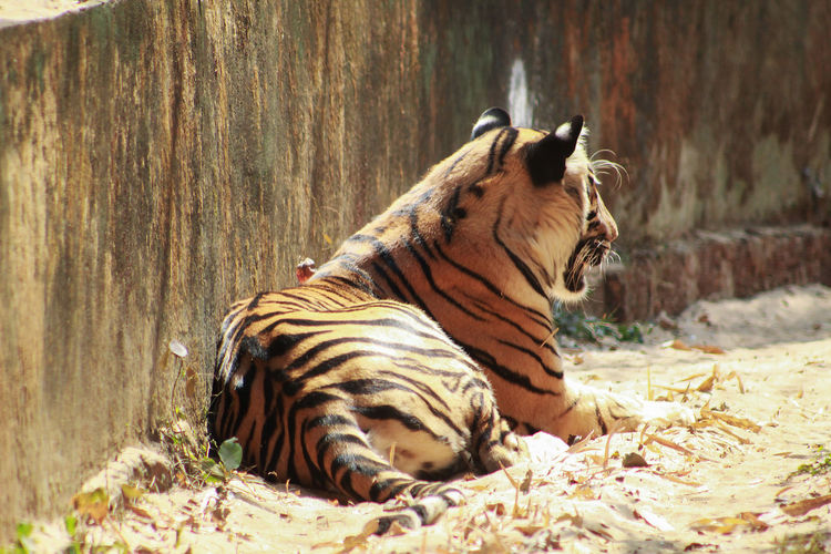 Tiger tigris sleeping or resting near a wall Animal Animal Themes Animal Wildlife Mammal Animals In The Wild Relaxation One Animal Tiger No People Nature Big Cat Vertebrate Feline Day Carnivora Zoo Wood - Material Cat Lying Down Tigris Tigress