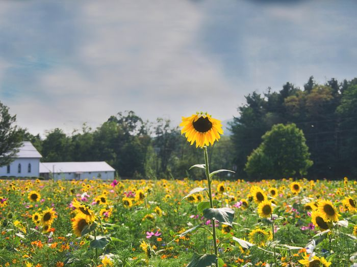 Close-up of fresh sunflower field against sky