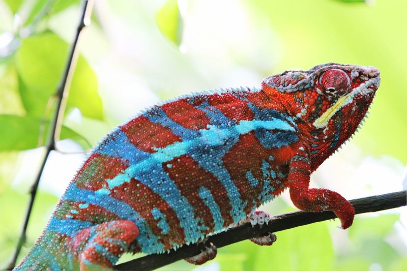 Chameleon Swiss