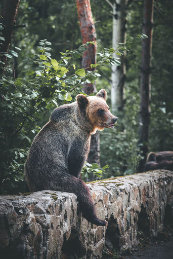 Bear sitting on retaining wall in forest