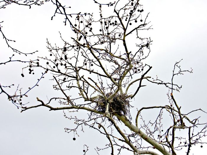 Tree Plant Branch Sky Low Angle View Bare Tree Clear Sky No People Nature Perching Outdoors Twig Tranquility Beauty In Nature Bird Nest Empty Nest
