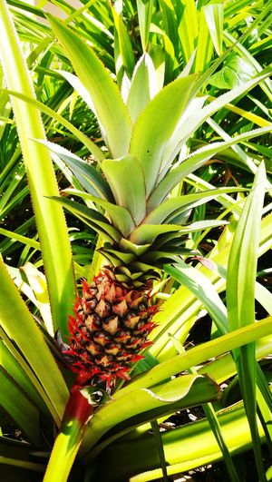 Growth Leaf Green Color Plant Close-up Freshness Outdoors Red Paneapple