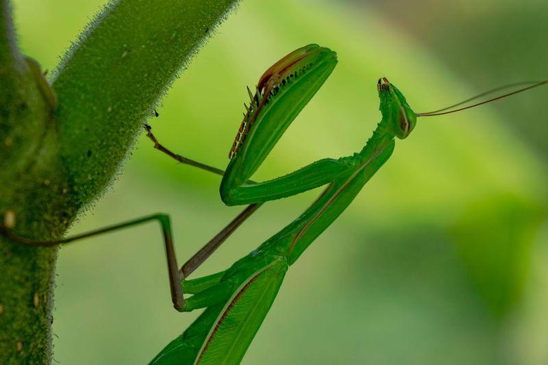 Praying mantis. EyeEmNewHere Nature Photography Nature Insect Close-up Animal Themes Green Color Praying Mantis Animal Antenna Magnification Invertebrate Bug