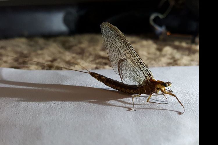 Unusual flying bug Insect One Animal Animal Themes Close-up Indoors  Winged Stingers Flight Strange Beautiful . Mayfly Rare Beauty Nature