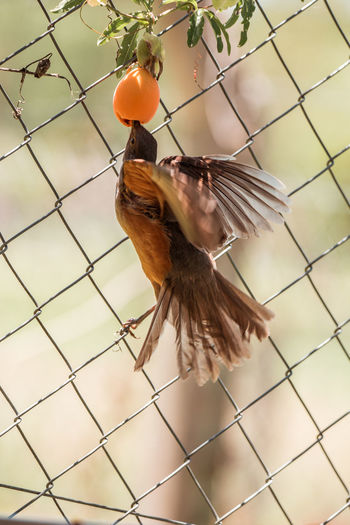 Close-up of bird flying in a fence