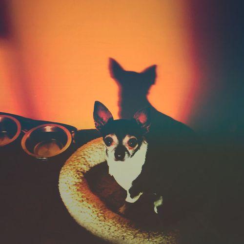 - Alter Ego - Check This Out Chuckie the Chihuahua EyeEm Best Shots EyeEm Nature Lover Gameoftones Shadow Shadows & Lights Pet Dog Dogalarm Shadows Eyeemphoto Mextures EyeEm Gallery EyeEm EyeEm Best Edits EyeEmBestPics EyeEm Best Shots - Nature Welcomeweekly