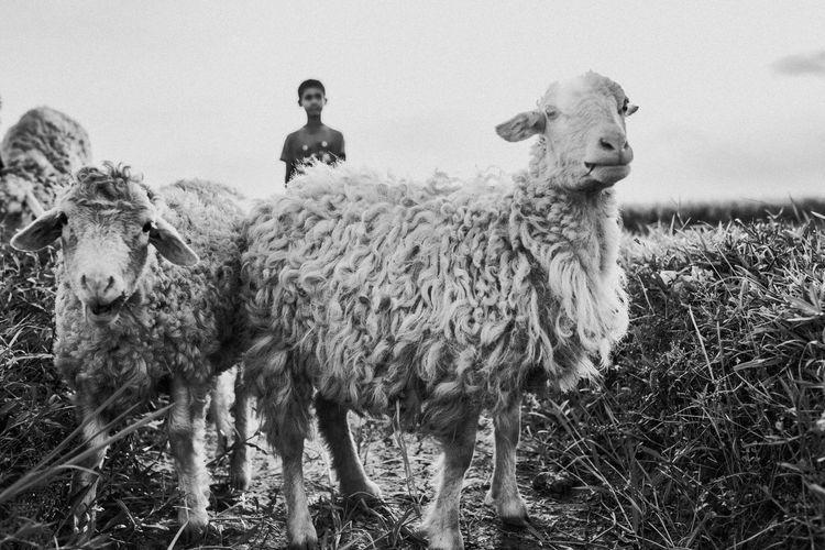 Portrait of sheep standing in field