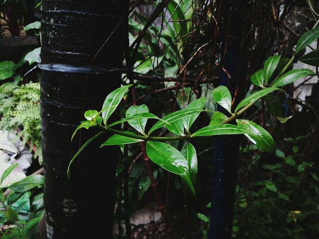 Nature_collection Leaves Rainy Season Nature Photography Mobile Shots EyeEmNewHere Beauty In Nature