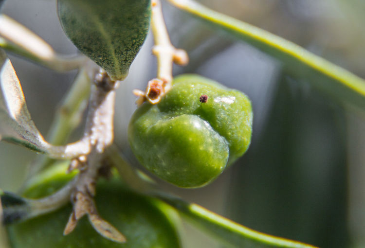 Green Green Green!  Macro Photography Natural Beauty Olive Olive Tree Rhodes Greece Close-up Day Focus On Foreground Food Food And Drink Freshness Greece Green Color Healthy Eating Nature No People Outdoors Plant Plant Stem Selective Focus