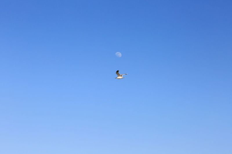 Sotto la luna... Sky Moon Moments EyeEmBestPics Bird Photography Seagull Canon 5d Mark Lll Bestoftheday Photooftheday High Angle View Sound of Life Scenics Blue Sky Low Angle View Clear Sky Flying No People Nature Animal Themes Beauty In Nature Mid-air Bird Animals In The Wild Day Outdoors Animal Wildlife