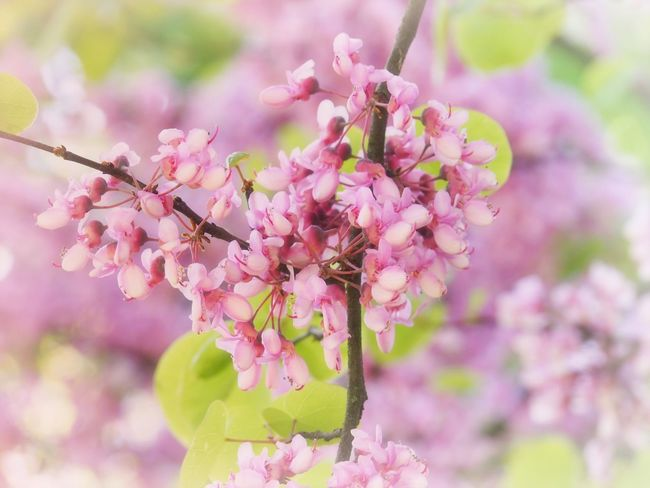 EyeEm Selects Flower Flowering Plant Plant Pink Color Freshness Growth Beauty In Nature Fragility Vulnerability  Tree Blossom Branch Close-up Springtime Focus On Foreground Petal Nature Day