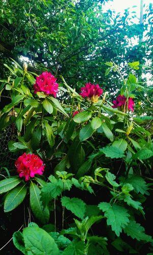 Silent Moment Quiet Places Emerging May Garden Photography Garden Flowers Garden Plants Pink Flowers Scent Quiet Moments Green Color Blooming Pollen In Bloom Petal Plant Life Cosmos Flower Flower Head Stamen