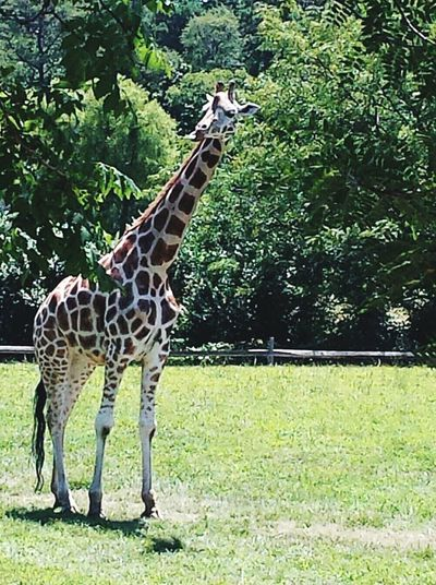Giraffe Capemay Cape May Point Zoo Zooanimals Giraffes! Giraffe ♡ Check This Out Checkthisout