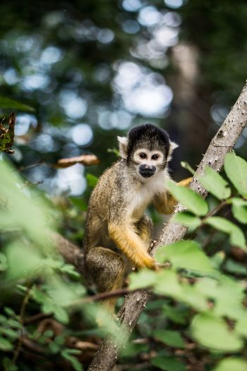 Posing monkey Posing Looking Climbing Little Primate Animal Themes Animal Animal Wildlife Animals In The Wild Mammal Primate One Animal Tree Monkey Vertebrate Plant Nature Day No People Portrait Forest Branch Sitting Looking Away Outdoors