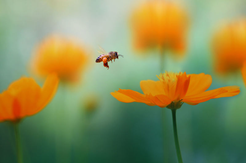 Close-up of bee buzzing by orange flower