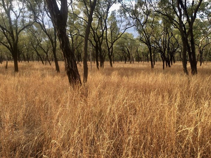 EyeEmNewHere After The Fires Black Burnt Burnt Tree Trunks Bushfireseason Dry Grasses Outback Australia Remote