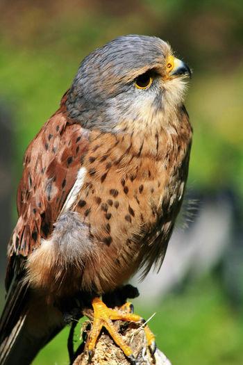 Close-up of kestrel perching on wood