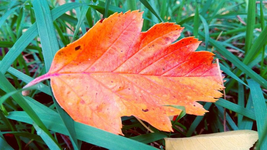 Focus Object Leaf Autumn Nature Get Closer Orange Color Leaves Outdoors Bokeh Autumn🍁🍁🍁 Nature The Places I've Been Today Autumn 2016 October 2016 Close-up Beauty In Nature Autumn Is Here 🍂🍁 Autumn Is The Spring Of Winter 🍂🍁 Autumn Leaves Grass