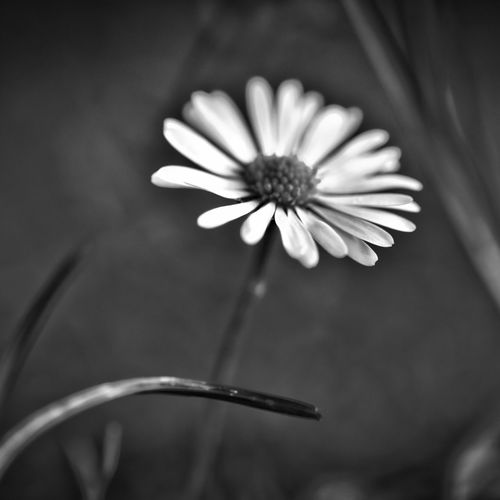 Nature Check This Out Relaxing No People EyeEm Best Shots - Nature EyeEm Best Shots - Black + White Flower Head Growth In Bloom Petal Purity Close-up Flower Black And White Selective Focus Macro_collection Macro EyeEm Masterclass Macro Photography Abstract EyeEm Nature Lover Beauty In Nature