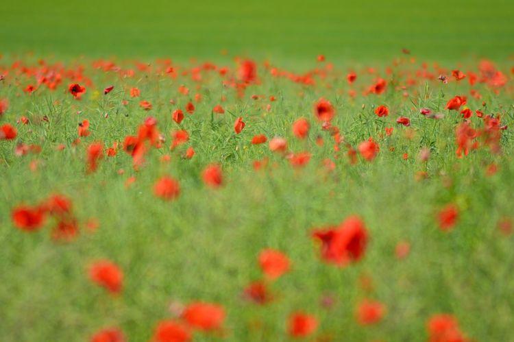 łąka Kwiaty Maki Flowers