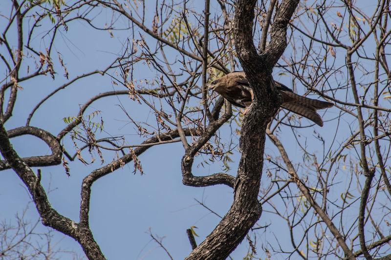 Beak Tree Branch Bare Tree Bird Clear Sky Sky Animal Themes Bird Of Prey Hawk Spread Wings Eagle Beak Hawk - Bird Perching Eagle - Bird Falcon - Bird Bald Eagle Feather  Avian Dead Plant
