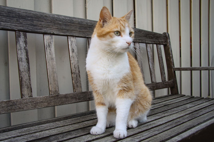 Animal Themes Attentive Attentive Cat Bench Close-up Day Domestic Animals Domestic Cat Feline Mammal No People Old Bench One Animal Outdoors Pets Portrait Red Cat Tomcat Watching Wood - Material