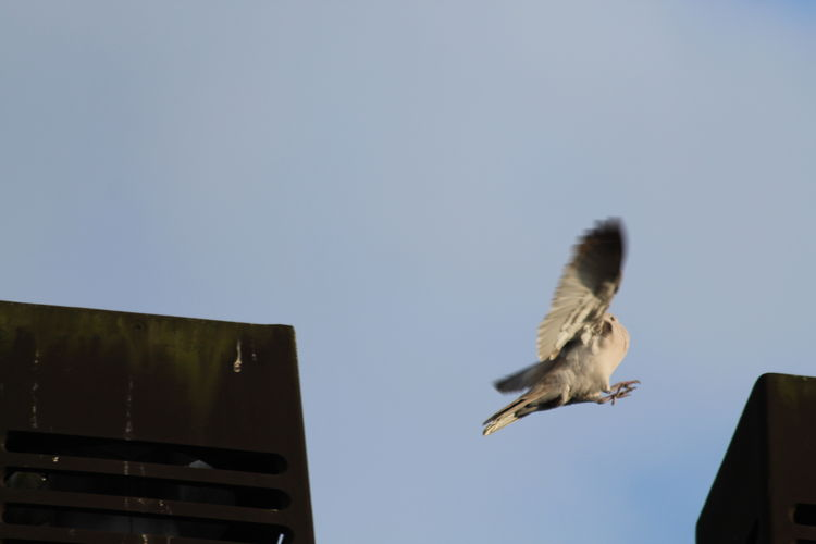 Bird Canon EOS 1300D Dove Duif Jumping Bird Jumping Pigeon Nature Outdoors Pigeon Sky Spread Wings Bird Wings