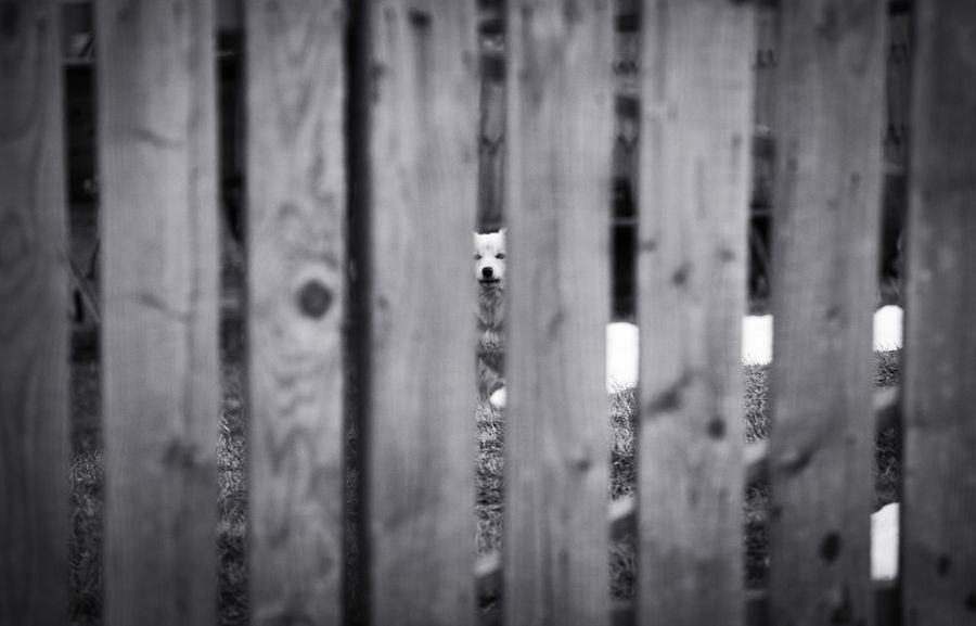 White dog behind a wooden fence in a courtyard from Botiza village, Maramures. Rural Wood Animal Themes Black And White Courtyard  Dog Fence House No People White Wooden Yard