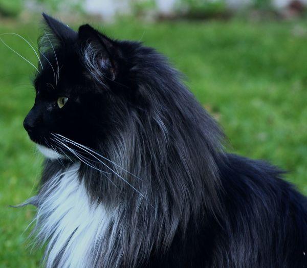 Norwegian Forestcat  Tom Cat Animal Themes Bestfriend Black Color Black Smoke Kitty Cat Domestic Animals Katze