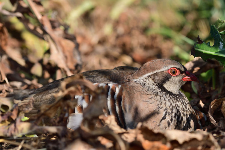 Portrait of a french partridge sitting on the ground