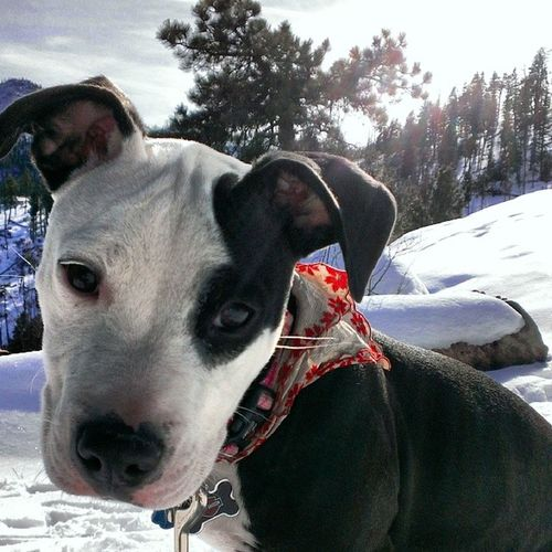 Lilly Pooter Puppy Snow hike cute animal photography landscape trees dog pitbull
