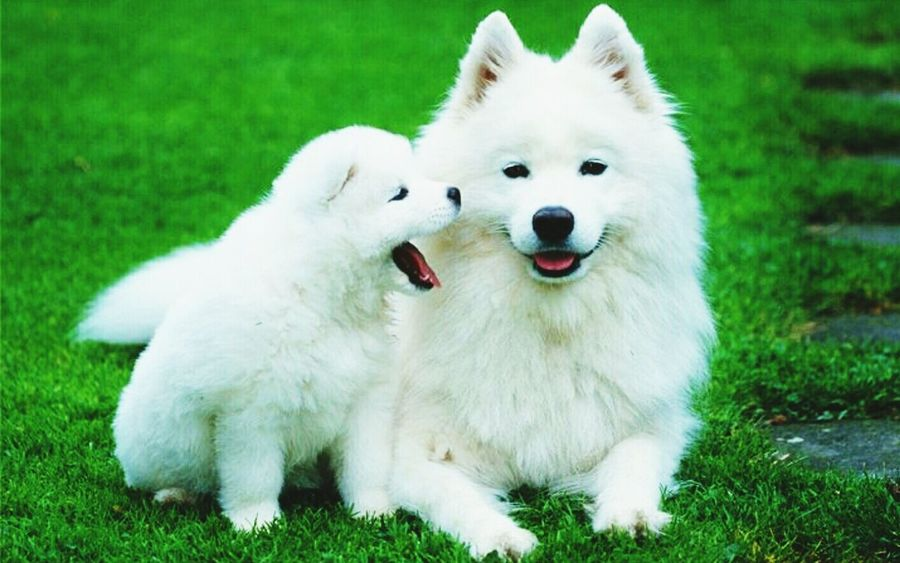 White dog Pets Dog Domestic Animals Grass Animal Themes White Color Purebred Dog Field Pomeranian Mammal No People Outdoors Close-up Day