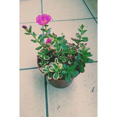 一見鍾情的彩虹馬齒莧 開花了🌸 原本只是想讓綠一遍的 🌵🌱植物們 添一點顏色 意外的開出花兒來 整個心情大大大好😄 Hsinchu 小陽臺 多肉 彩虹馬齒莧
