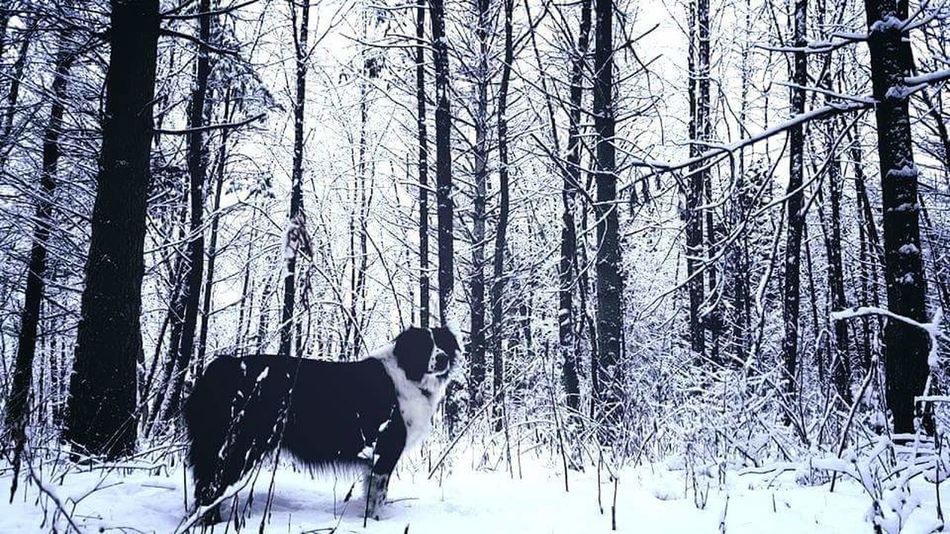 Blackandwhite Dogs Dogstagram Dogs Of EyeEm Dogslife Outside Dog  Sheepdog Black And White Dog Winter Winter In Wisconsin Winter2015 Snow Snow ❄ Snow On The Trees Snow In The Woods Winter Is Gone Cold Forest Forestwalk Forrest Photography Forrest Nature Forrest In Winter Belowzero Below Freezing Out Adventure Club