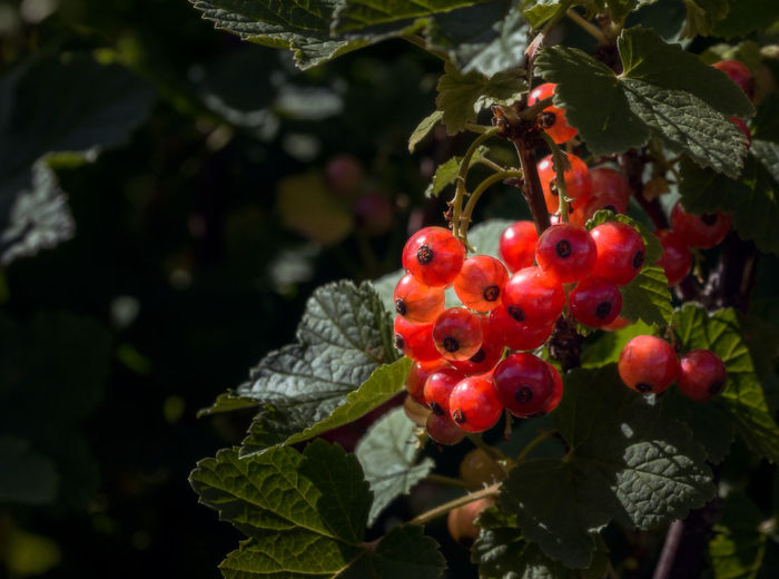 Ripe redcurrant berries in summer sun Beauty In Nature Close-up Fruit Healthy Eating Leaf Outdoors Plant Red Redcurrant Tree Wineberry
