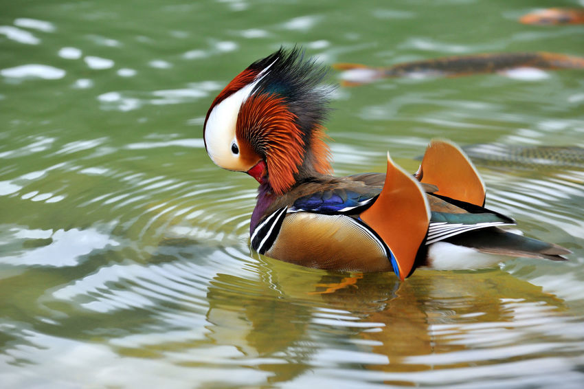 Cute and beautiful mandarin duck, free to play in the water. Laid Back Abundant Animal Themes Animal Wildlife Animals In The Wild Beautiful Feathers Beauty In Nature Bird Birds Color Colorful Day Duck Laid Back Life Lake Mandarin Duck Multi Colored Nature No People One Animal Outdoors Reflection Swimming Water Waterfront