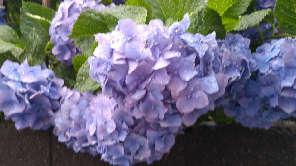 Japanese Hydrangea Purple Flower June Rainy Days