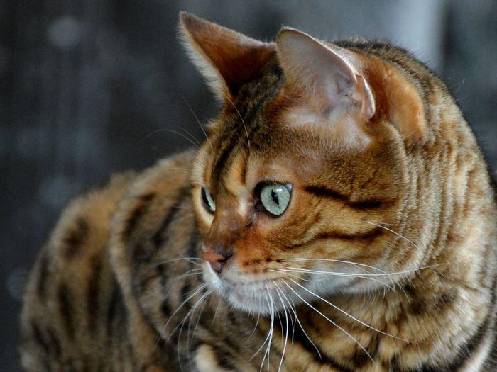 Cat Bengal