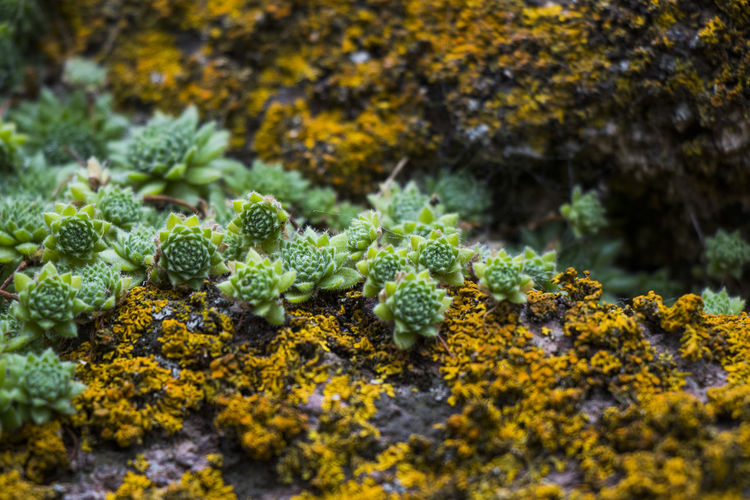 Close-up of lichen growing on plant