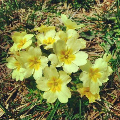 Trabzon Beşikdüzü  Kabalak Gabalak yellow flowers spring