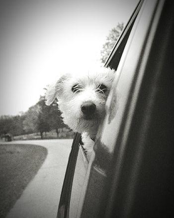 Pets Dog Animal Hair Car Portrait Close-up Sky Ear Beauty