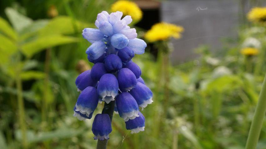Saint-Petersburg макро Springtime Macro Nature Flowers