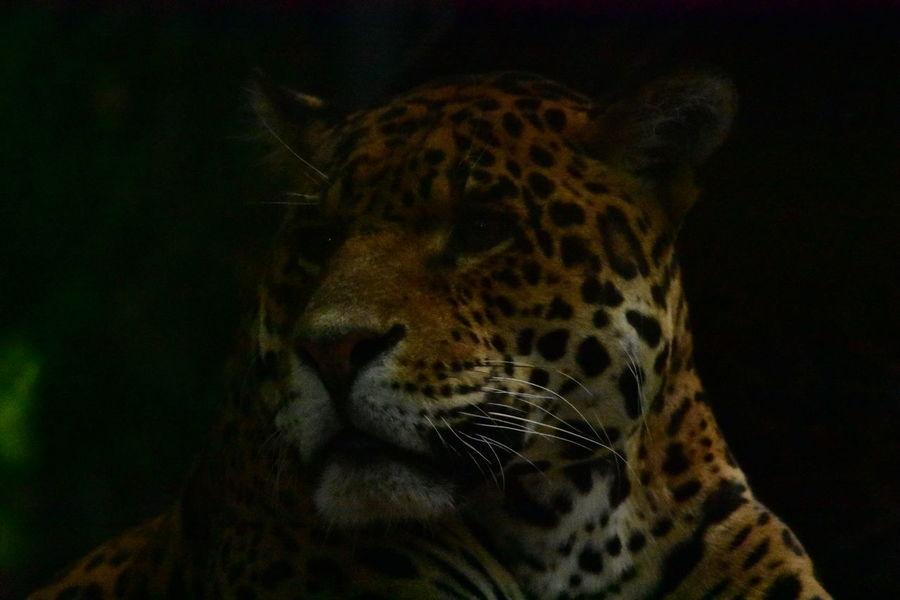 JAGUAR Jaguars Félin  Félin  One Animal Animals Savage Animal Themes Day Animalportrait Portrait Zoo Animals  Zoo Beauval Zoodebeauval Outdoors