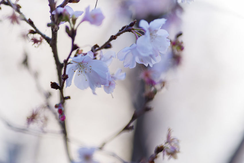 Flower Plant Flowering Plant Beauty In Nature Freshness Fragility Vulnerability  Selective Focus Growth Tree Close-up Branch Blossom Nature Purple Springtime Outdoors Day Petal No People Flower Head Cherry Blossom Spring
