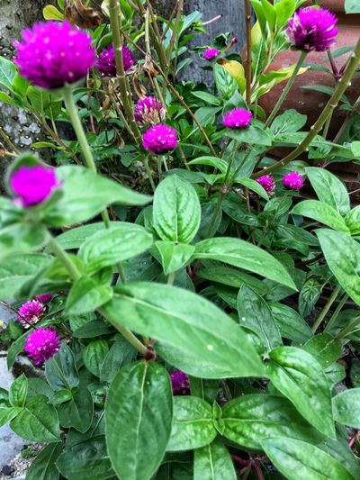 Growth Purple Leaf Green Color Plant Nature Flower Freshness No People Beauty In Nature Day Outdoors Fragility Close-up Flower Head Gomphrena Globosa L. Bungabutang EyeEmNewHere The Week On EyeEm