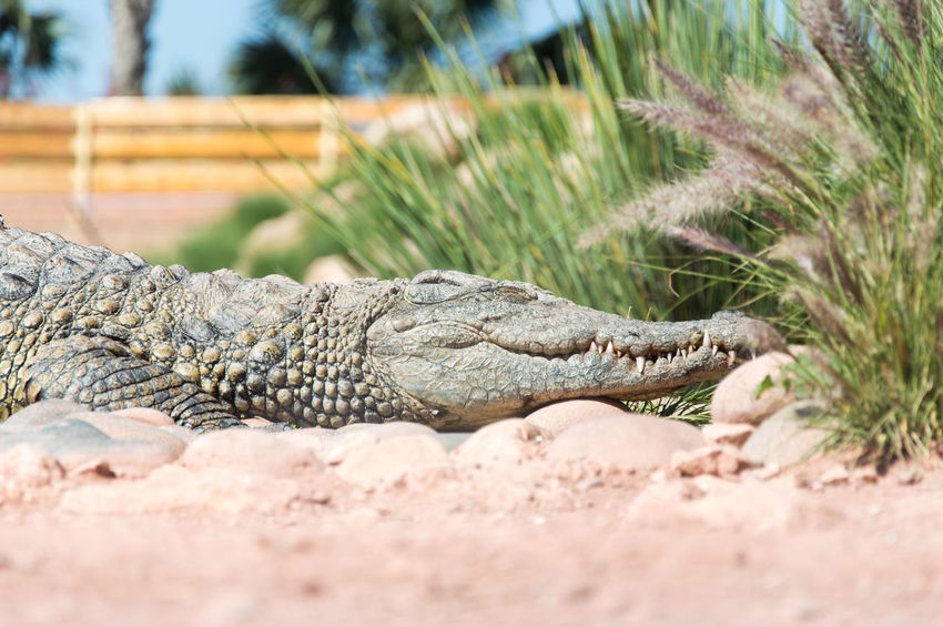 happy crocodile Reptile Alligator Crocodile Close-up Animal Scale Swamp Wetland Sunbathing Animal Teeth Teeth Animal Skin Camouflage