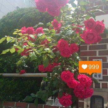 저두 학겨 끝나고 집에 오는 길에 찰칵 일상 장미 꽃스타그램 꽃 좋아요많아라~~^_^