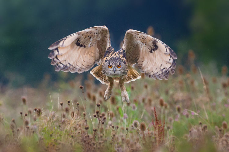 Eagle owl in flight hunting Animal Themes Animals In The Wild Bird In Flight Bitds Bubo Bubo Eagle Owl  Hunting Nature Owl Wildlife